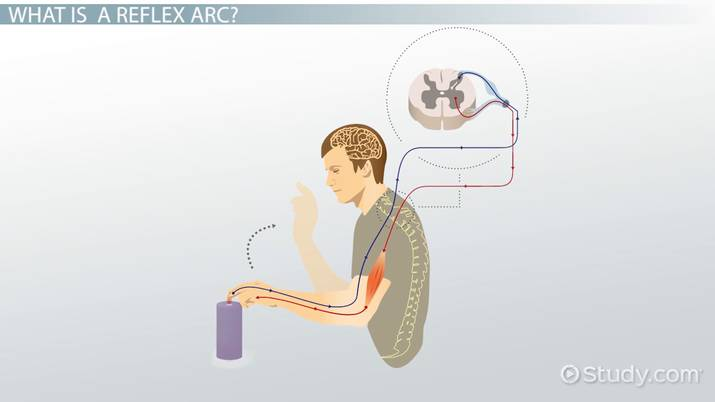 Reflex Arc: Definition, Components & Functions - Video & Lesson ...