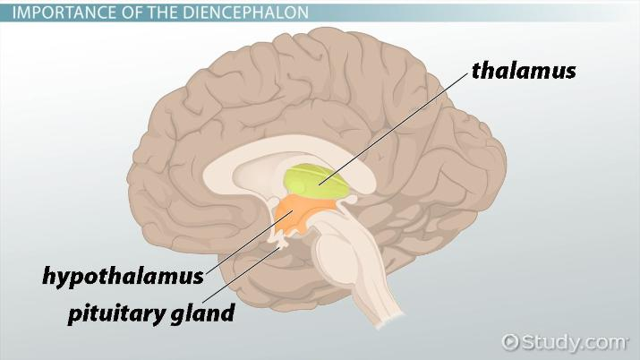 Diencephalon Definition Location Function Video Lesson