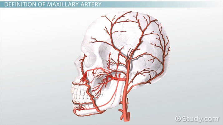 Maxillary Artery: Anatomy & Branches & - Video & Lesson Transcript ...