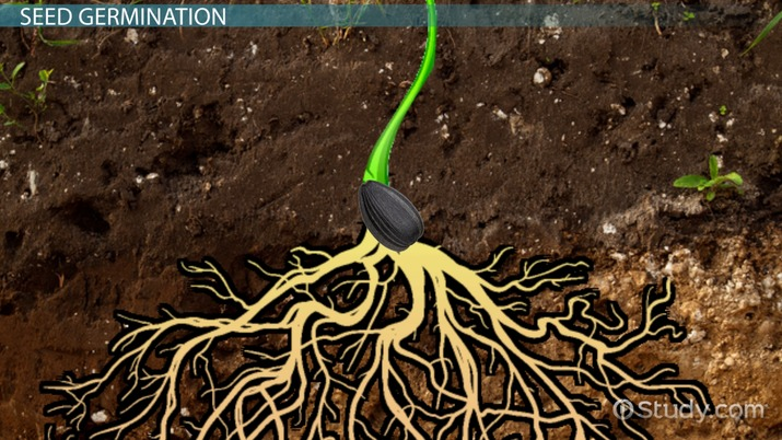 Germination Of Seeds Lesson For Kids