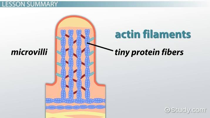 microvilli vs cilia structure \u0026 size video \u0026 lesson Cilium Microvilli Diagram difference between microvilli and cilia