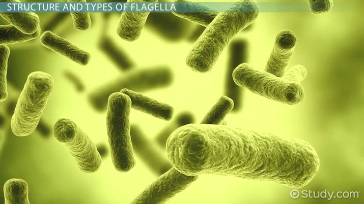 Flagella: Definition, Structure & Functions - Video & Lesson