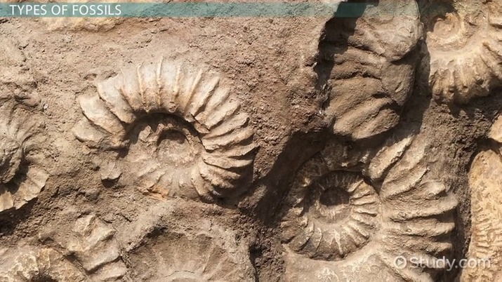 Fossil: Definition, Types, Characteristics & Examples