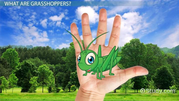 Grasshopper Facts: Lesson for Kids - Video & Lesson