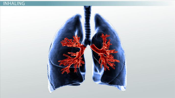 How Our Lungs Work: Main Processes & Function
