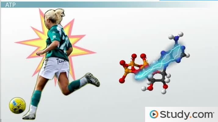 How Energy-Containing Molecules Support Physical Activity