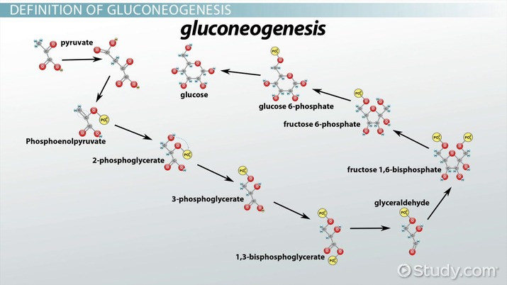 enzymatic diagram of glycolysis gluconeogenesis definition  steps   pathway video   lesson  gluconeogenesis definition  steps