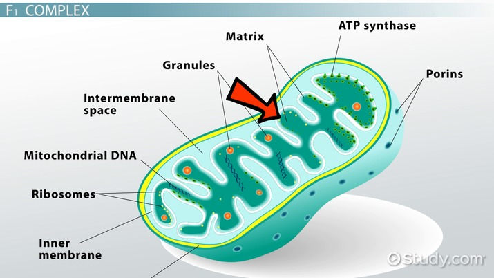 Atp Synthase Definition Structure Function