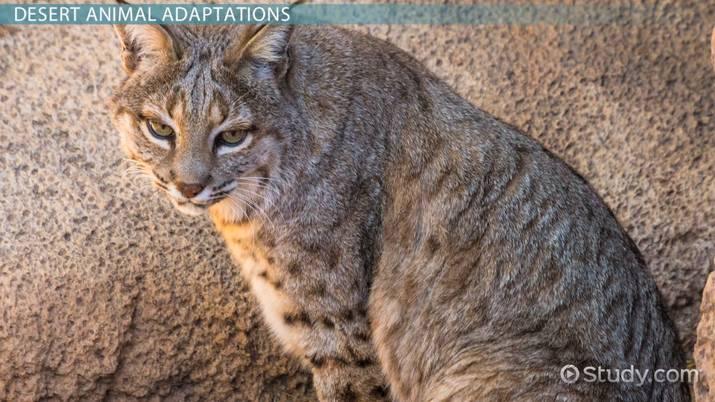 Desert Animal Adaptations Video Lesson Transcript Study Com