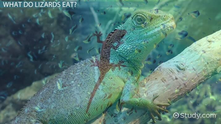 Garden Lizards Food | Fasci Garden