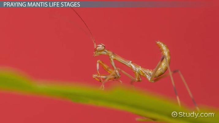 praying mantis  facts  u0026 life cycle
