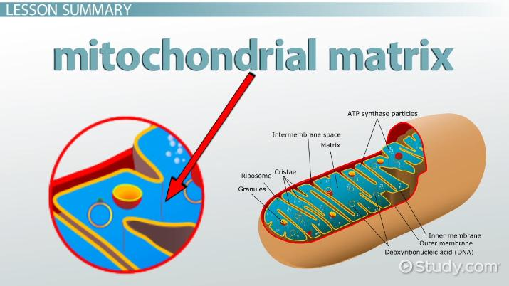 mitochondrial matrix definition and function thumb_114262 mitochondrial matrix definition & function video & lesson