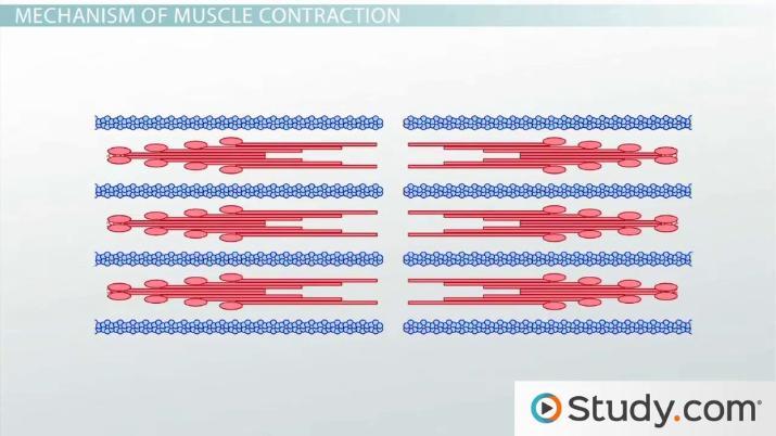 Muscle Contraction: Actin and Myosin Bonding - Video