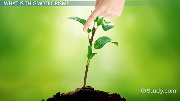 Thigmotropism in Plants: Definition & Overview