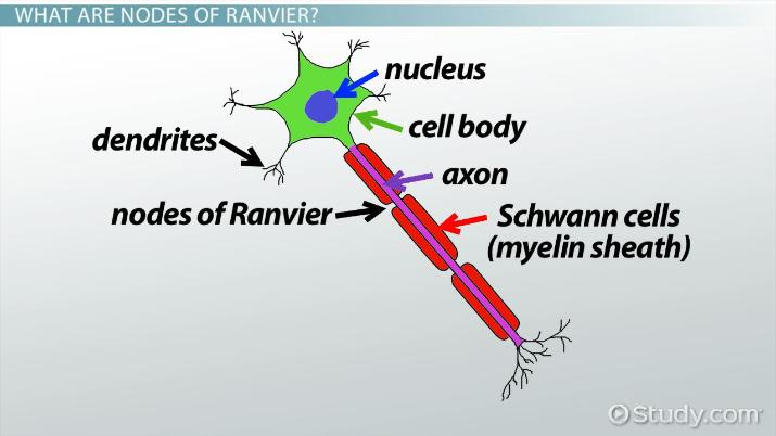 Nodes of Ranvier: Function and Definition - Video & Lesson