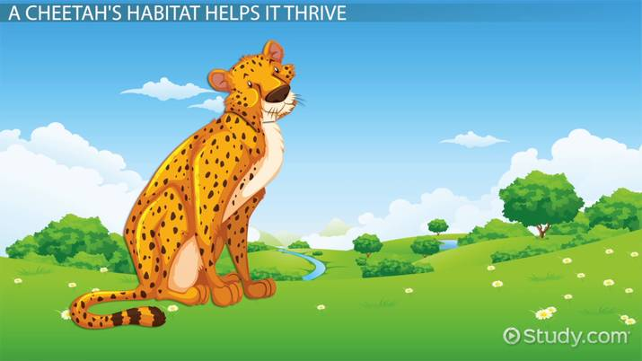 Habitat of a Cheetah: Lesson for Kids - Video & Lesson