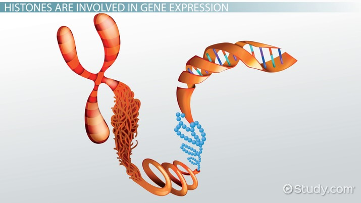 chromatin structure  regulation  u0026 modifications