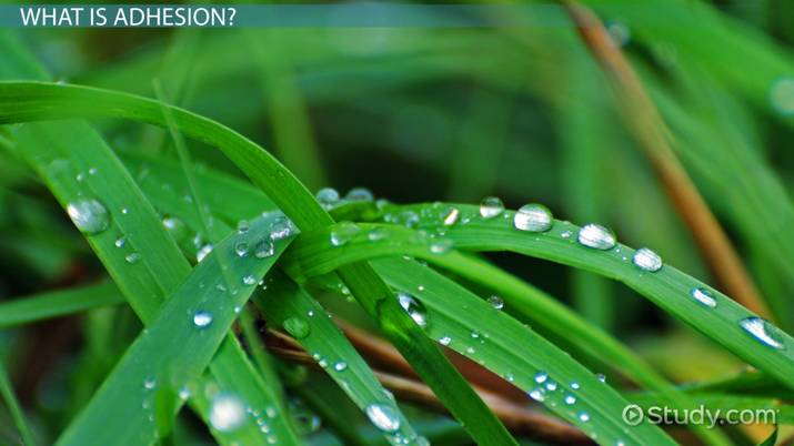 adhesion of water  definition  u0026 example