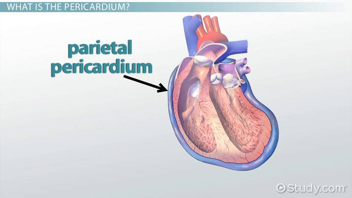Pericardium: Definition & Function - Video & Lesson Transcript