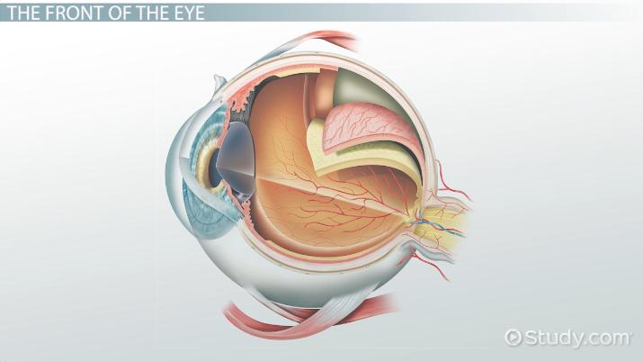 parts of the eye and their functions video lesson transcript rh study com Simple Diagram of the Eye Parts of the Human Eye Diagram