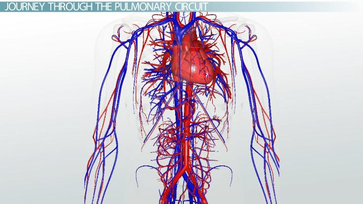 Pulmonary Circuit: Definition & Pathway - Video & Lesson Transcript ...