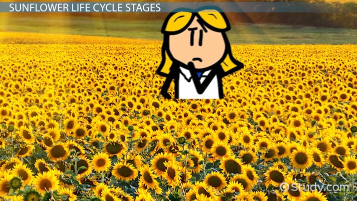 sunflower lesson for kids: facts & life cycle
