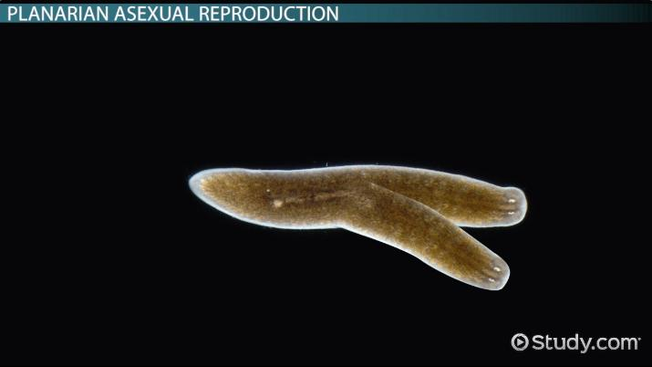 Planaria type asexual reproduction images
