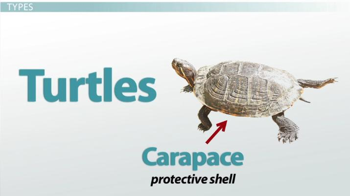 Reptiles: Features, Types & Importance - Video & Lesson ... 10 Examples Of Reptiles