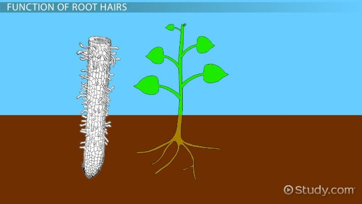 Root Hairs in Plants: Function & Definition - Video & Lesson