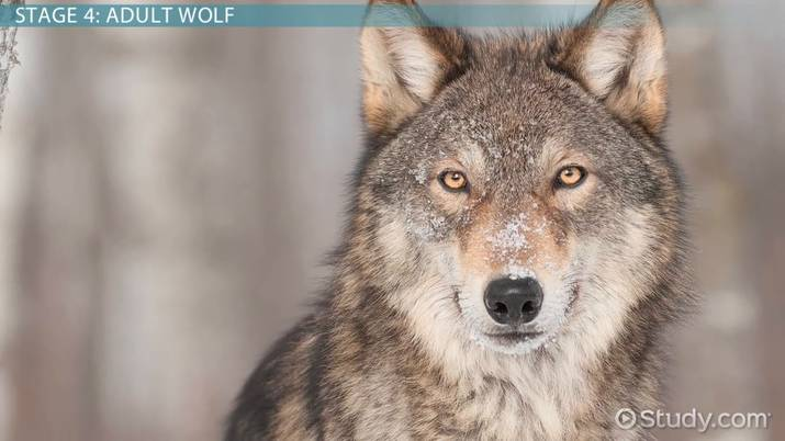 Wolf Life Cycle: Lesson for Kids - Video & Lesson Transcript | Study com