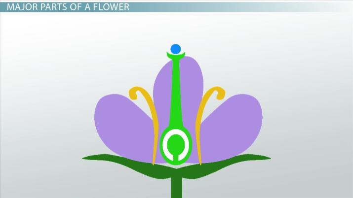 Ovary Of A Flower Function Definition Video Lesson