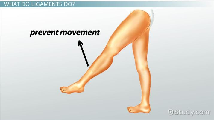 What Are Ligaments Definition Types Video Lesson Transcript