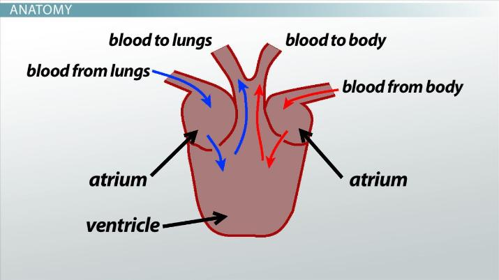 Three-Chambered Heart: Definition & Anatomy - Video ...
