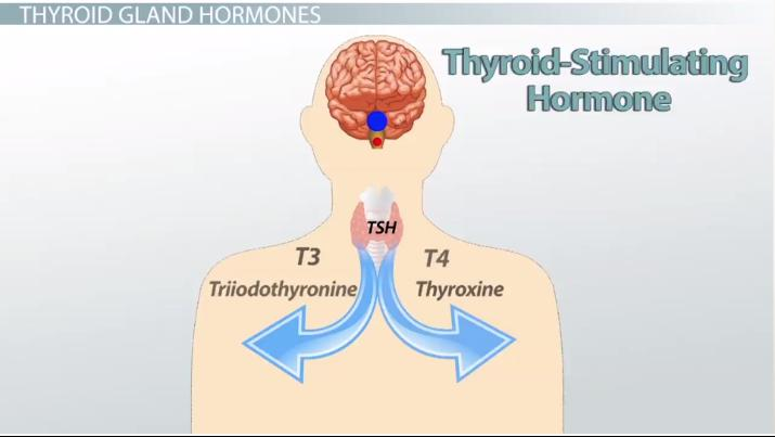 Thyroid Stimulating Hormone Blood Test Description Optimal