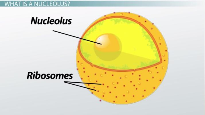 What Is A Nucleolus Definition Function Video Lesson