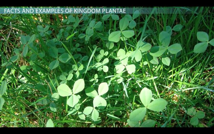 Kingdom Plantae: Facts, Characteristics & Examples