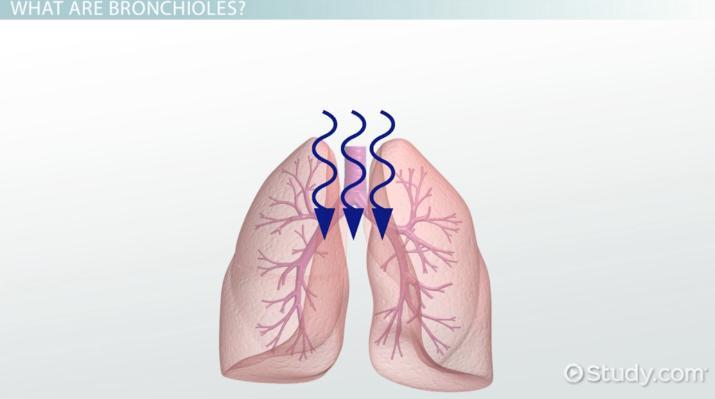 Bronchioles: Definition & Function - Video & Lesson Transcript ...
