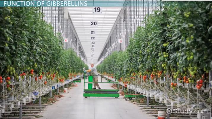 Gibberellins in Plants: Definition & Function - Video & Lesson