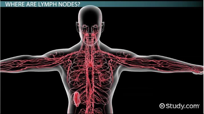 Lymph Nodes: Anatomy & Location - Video & Lesson Transcript