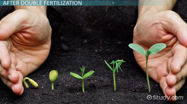 Double Fertilization in Angiosperms: Definition & Process - Video