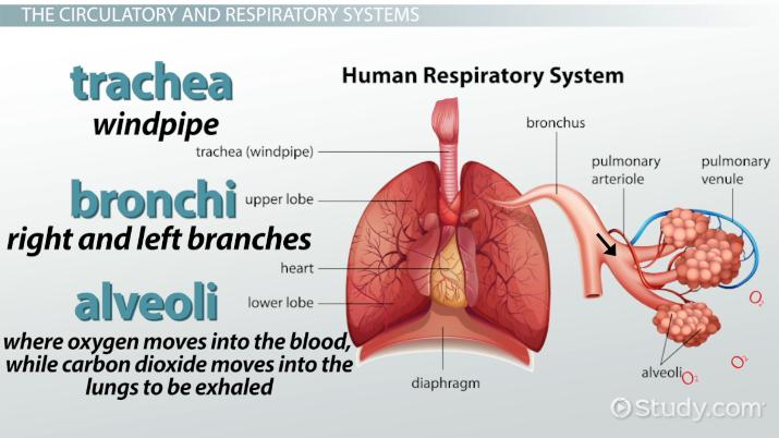 What Are The Organ Systems Of The Human Body Video Lesson