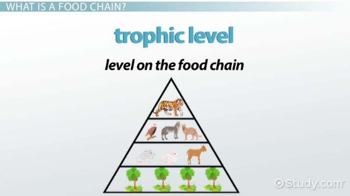 The Food Chain Of A Tiger Video Lesson Transcript Study