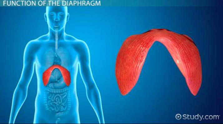 Diaphragm: Definition & Function - Video & Lesson Transcript