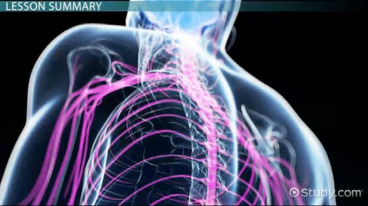 Anatomy of the Spinal Cord: Function & Explanation - Video & Lesson ...
