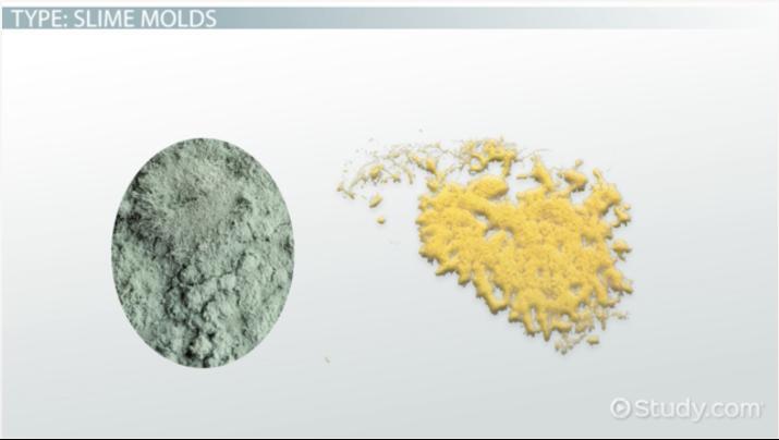 fungus like protists characteristics, types \u0026 examples videoFungi Like Protist Diagram #19