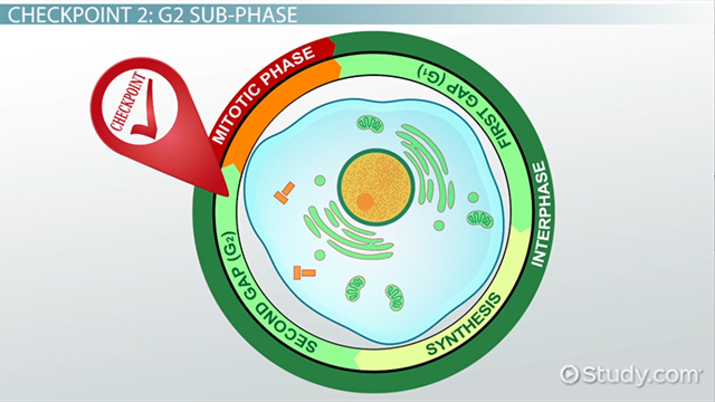 The Cell Cycle Control System - Video & Lesson Transcript | Study com