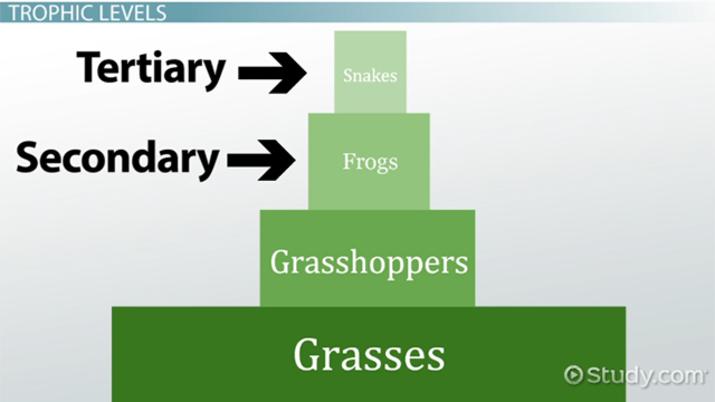explain ecological pyramid