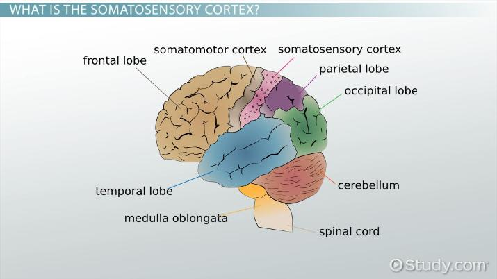 Somatosensory Cortex Definition Location Function Video