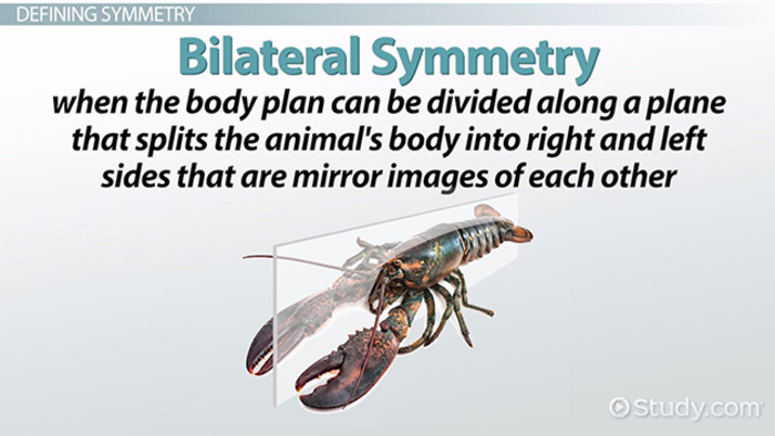 Symmetry in animals: types of symmetry, bilateria and radiata.