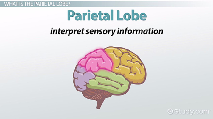 Parietal Lobe Definition Functions Video Lesson Transcript